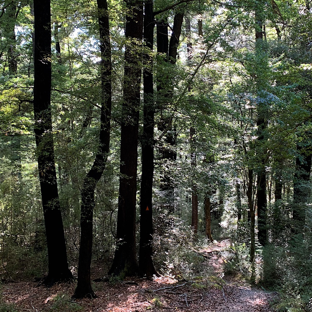 The Hard or Black Beech forests of the South Island are more open and drier, the tiny leaves a carpet underfoot.
