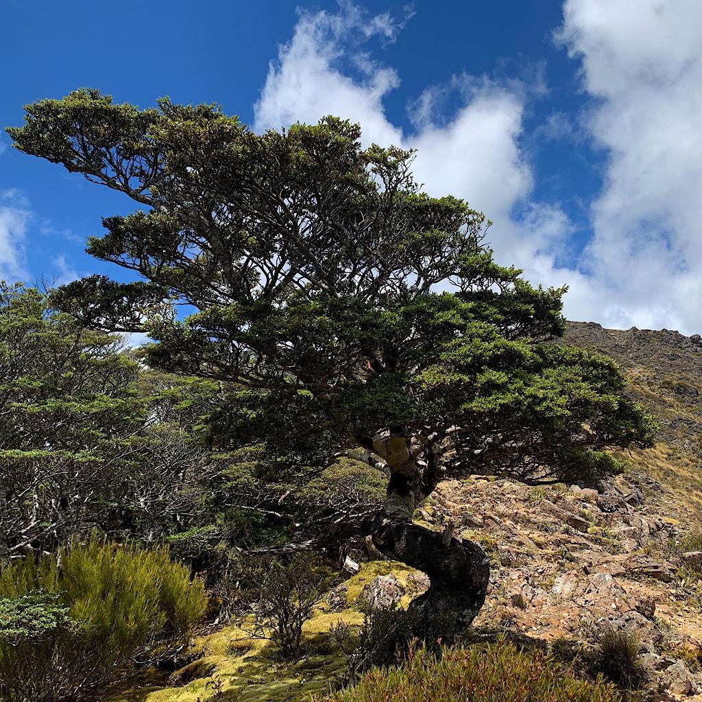 A beech tree gnarled by the wind like a bonsai.