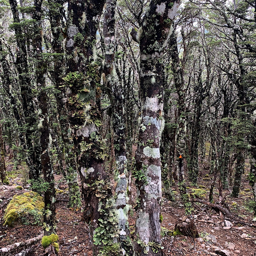 Beautiful Mountain Beech covered in lichen and moss along the track. The trail is exposed, then dives into forest.