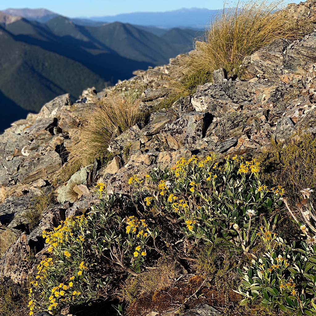Mountain daisies cling tightly to the mountainside and blossom quickly during the short summer season.