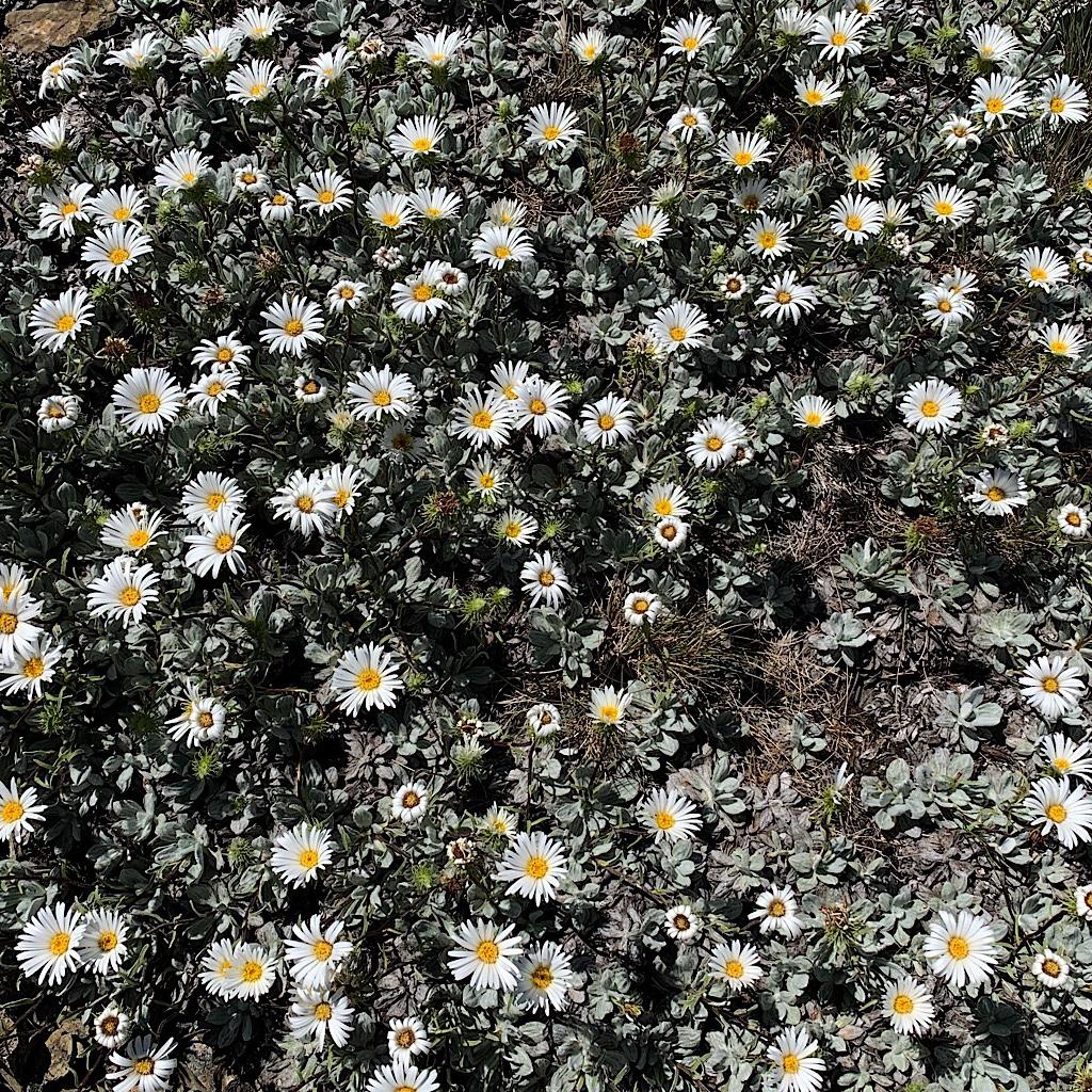 Tough-as-nails daisies soaking up the sun.