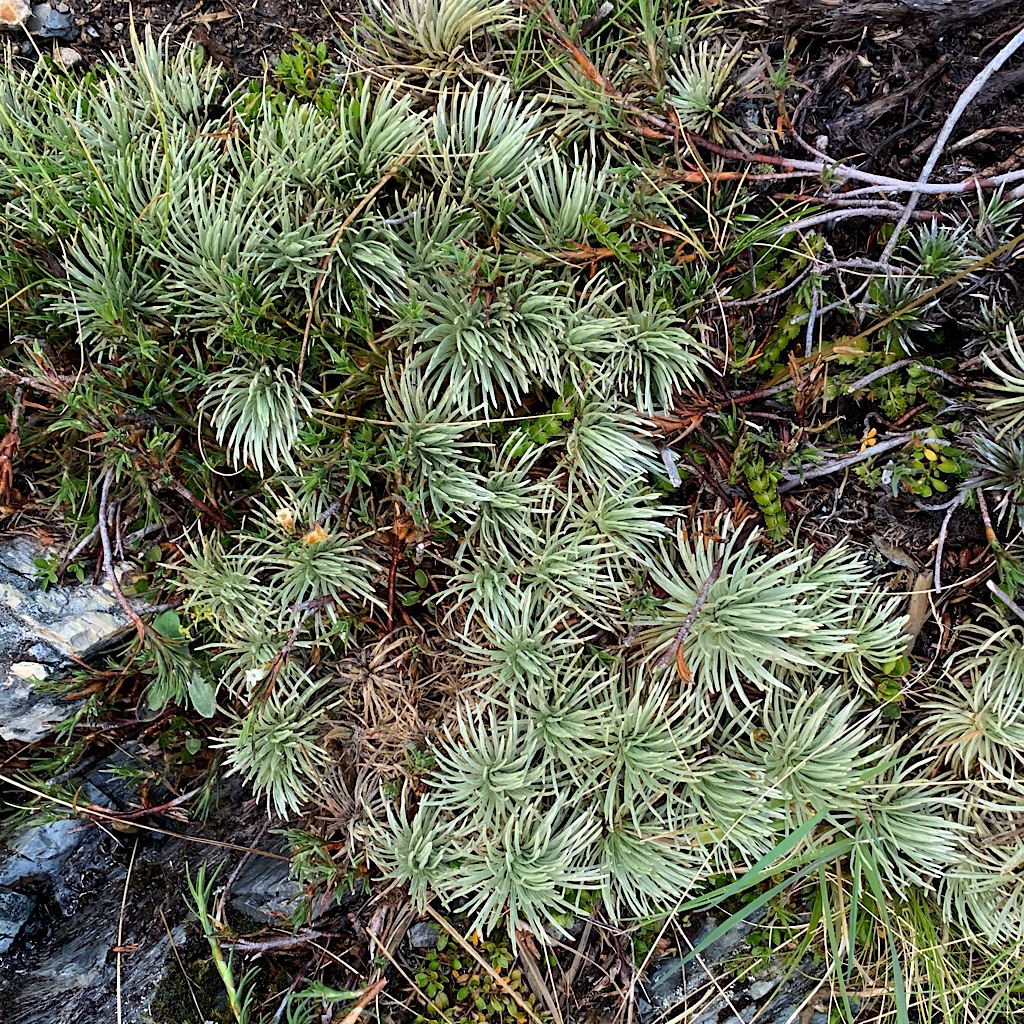 Alpine plants cling tightly in this harsh environment, wetter and more lush than the Richmond Range.