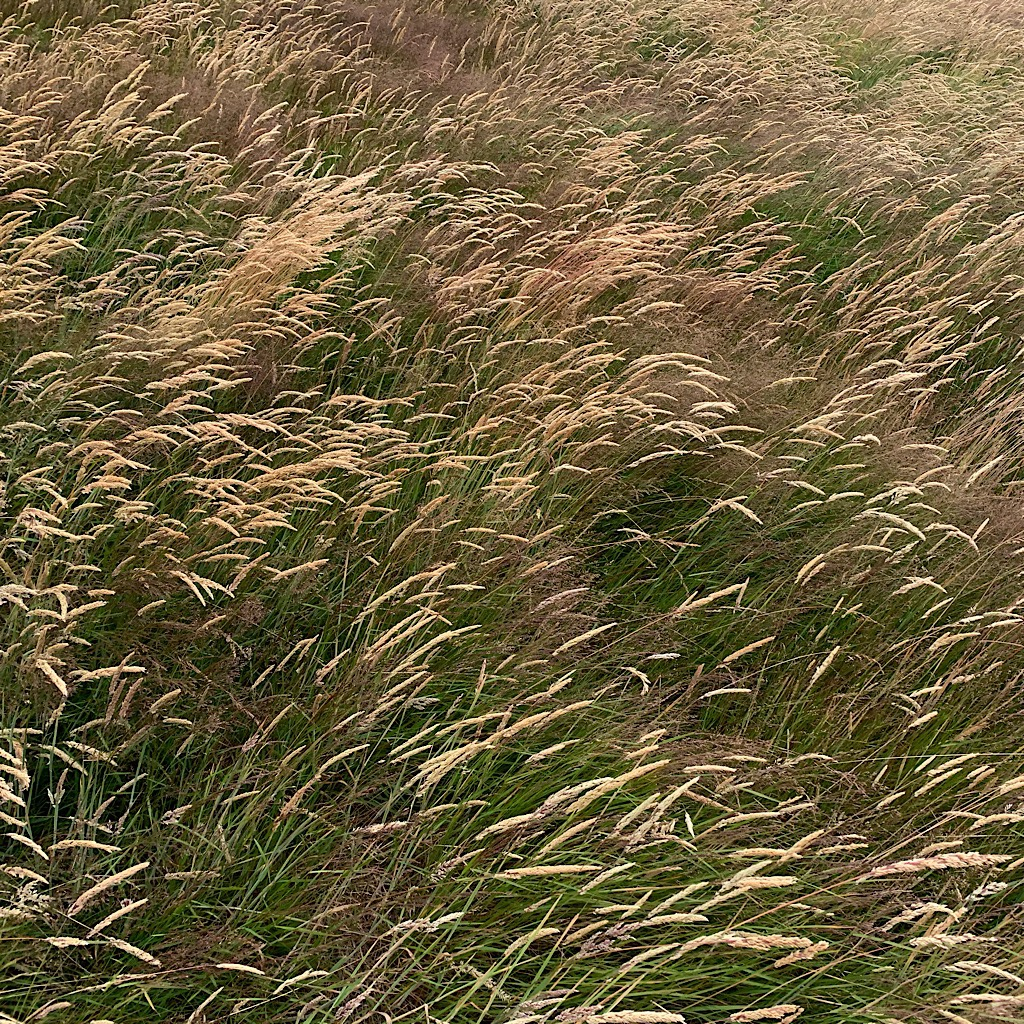 Golden grasses like hair flowing in the gusts.
