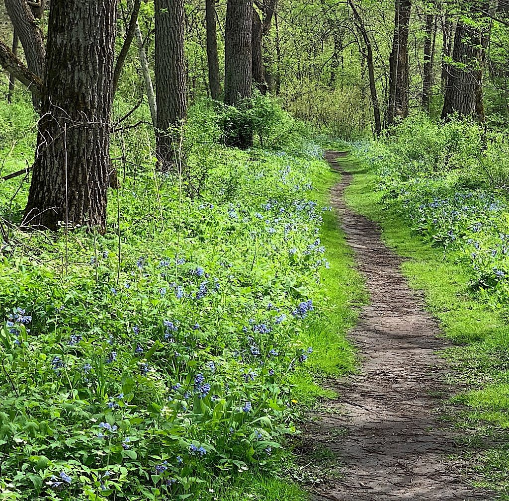 the annual explosion of bluebells puts Carley State Park on the map