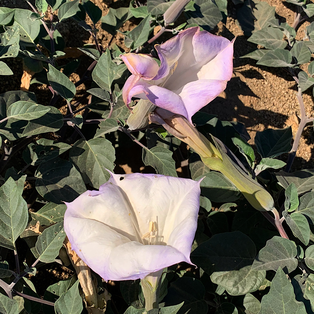 Morning glories, white with a hint of lavender, are everywhere along the exposed climb.