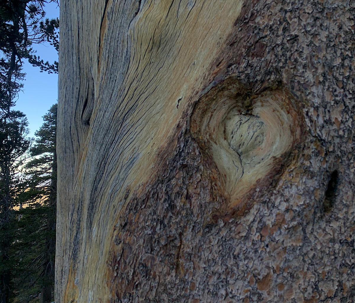 Limber pine heart.