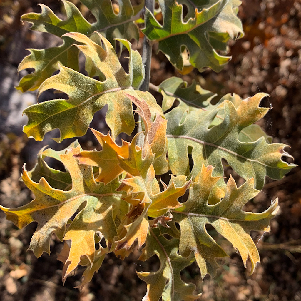 Black oak leaves yellowish-green and curling in upon themselves.