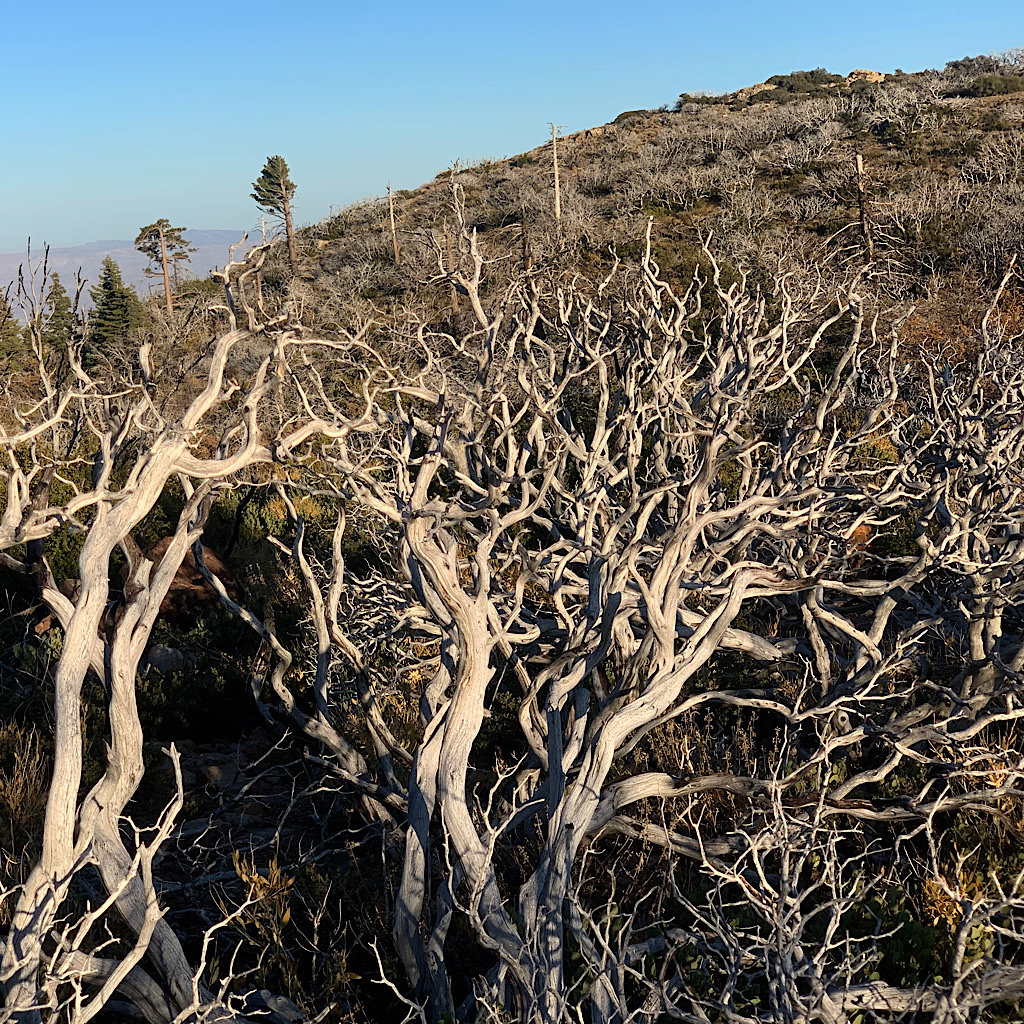 Manzanita branches die off on living plants, resembling elk horns.