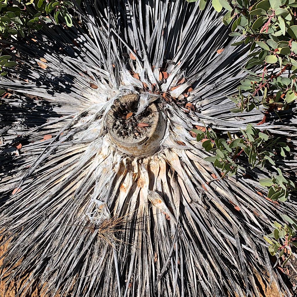 A yucca carcass like a hula skirt.