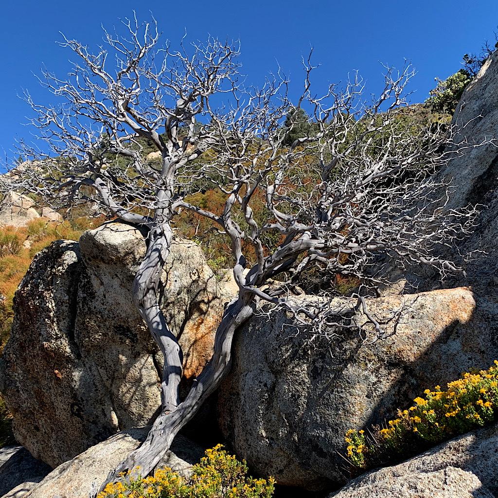 A bone dry tree reaches towards a bluebird sky.
