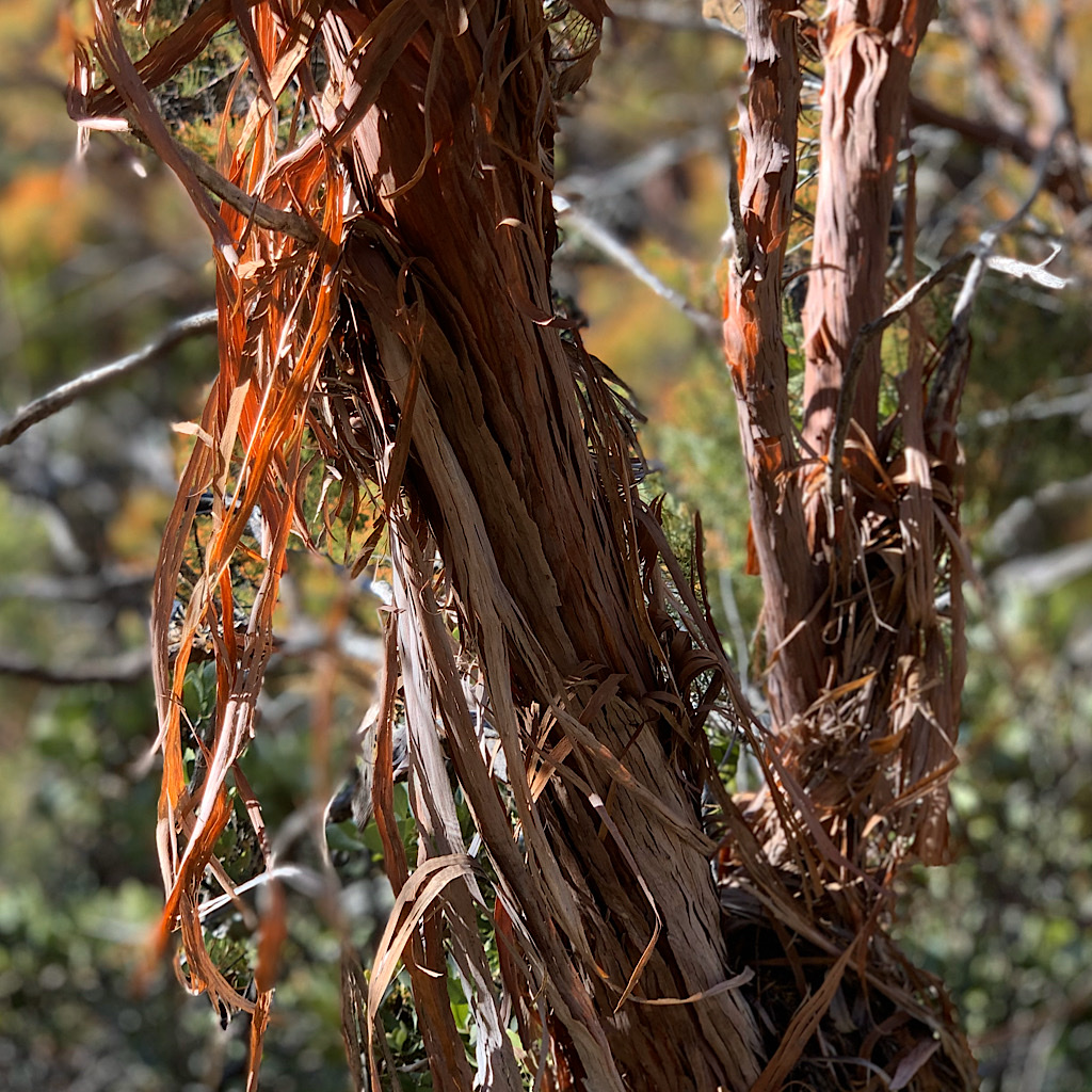 Peeling red bark reveals soft flesh beneath.
