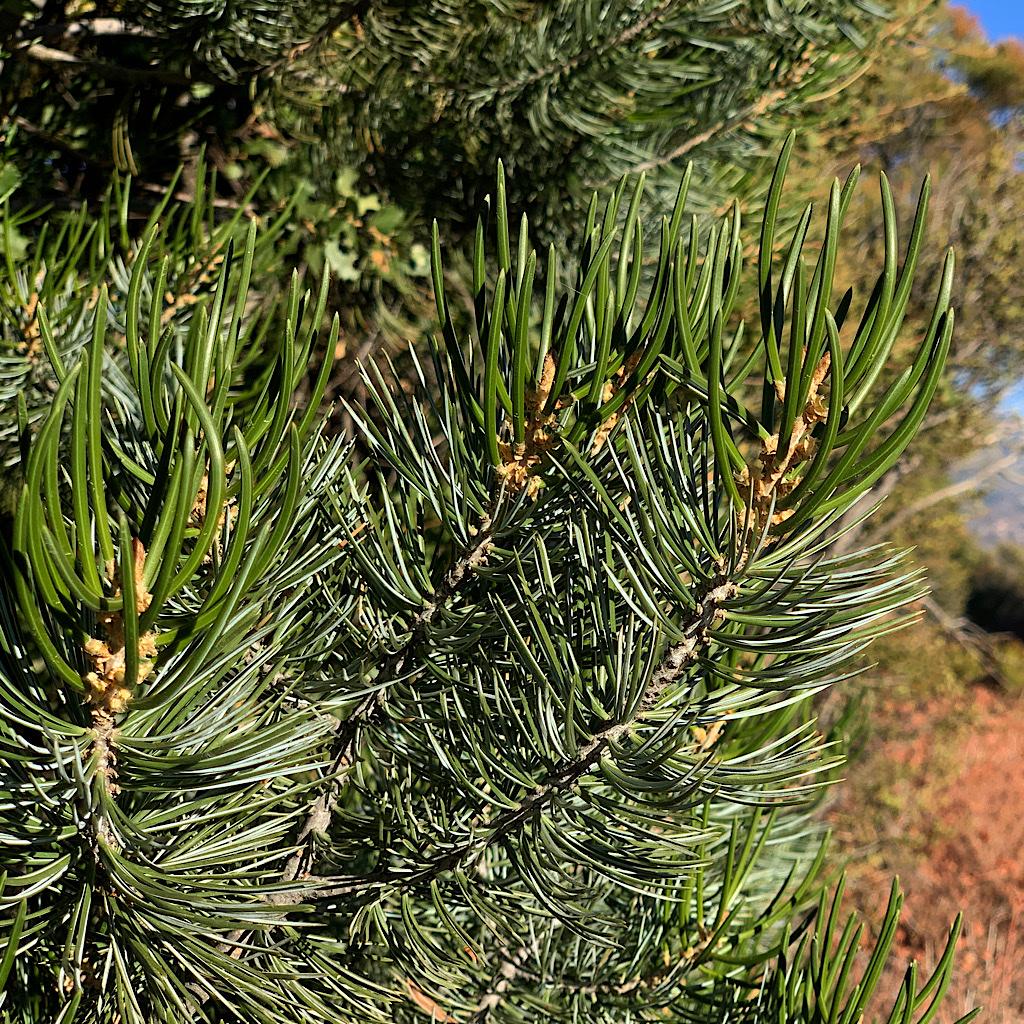 Healthy, soft needles on a Pinyon Pine.