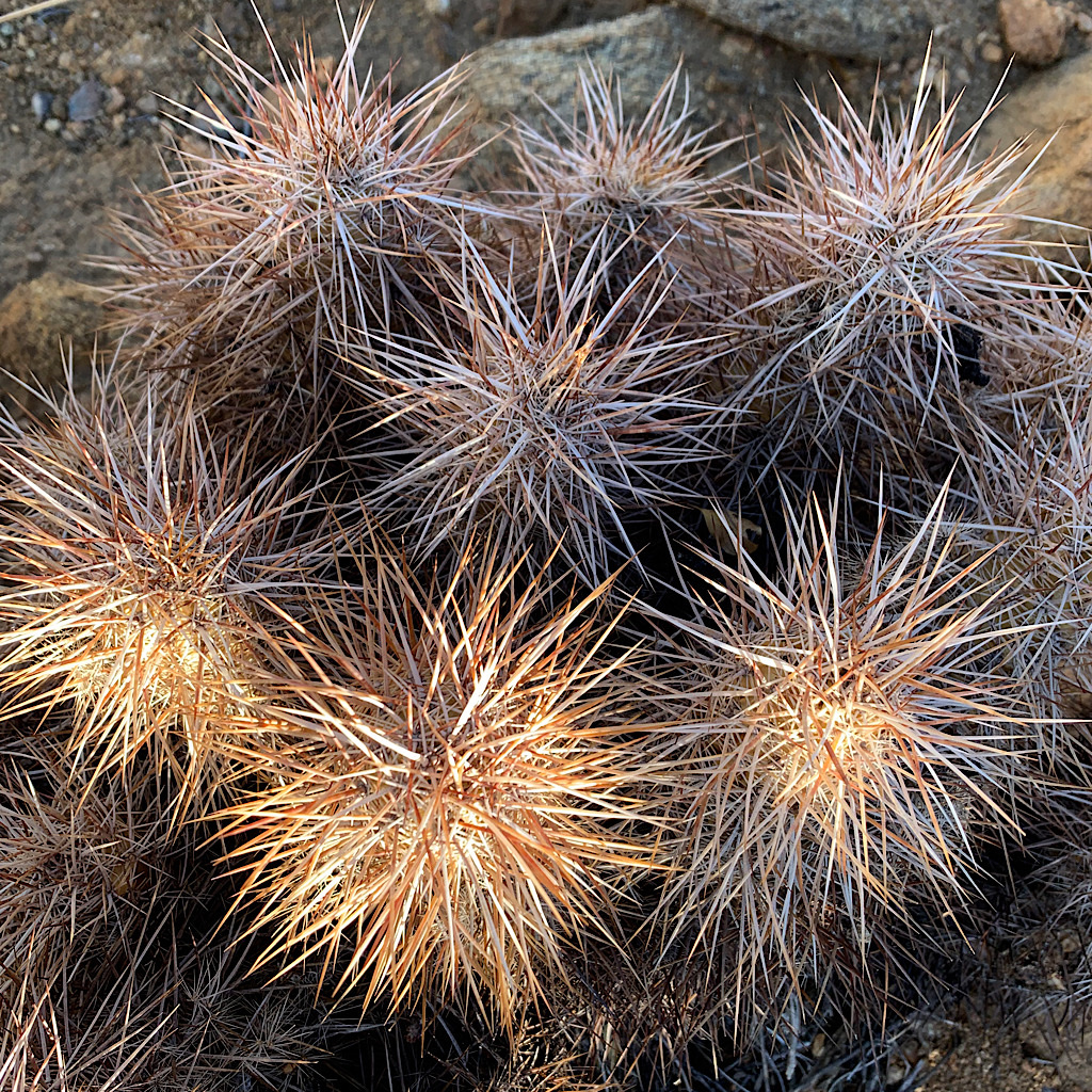 Cactus spines are designed to create a larger surface area for precious water droplets.