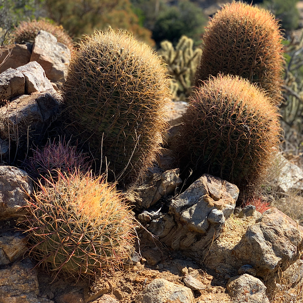 A cluster of barrel cactus in Anza-Borrego State Park.
