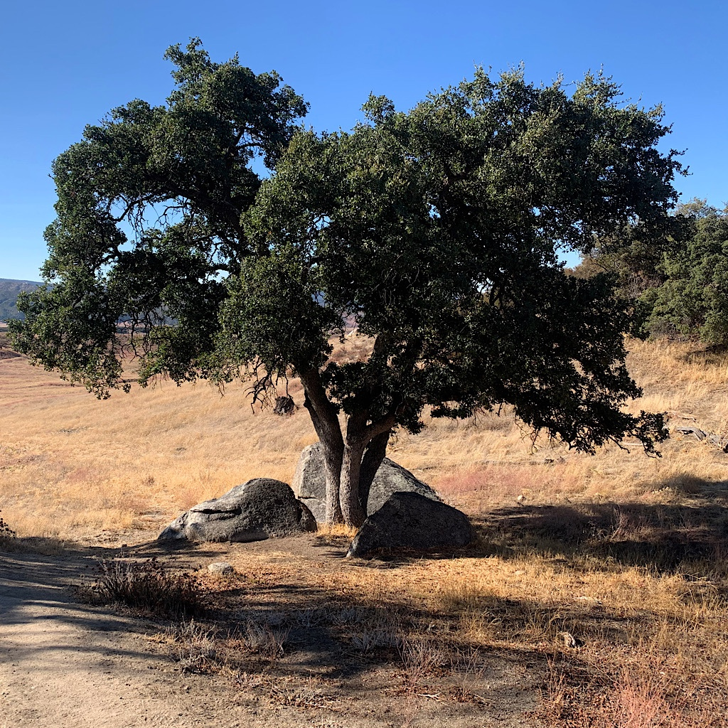 A lone oak in the desert of Southern California.