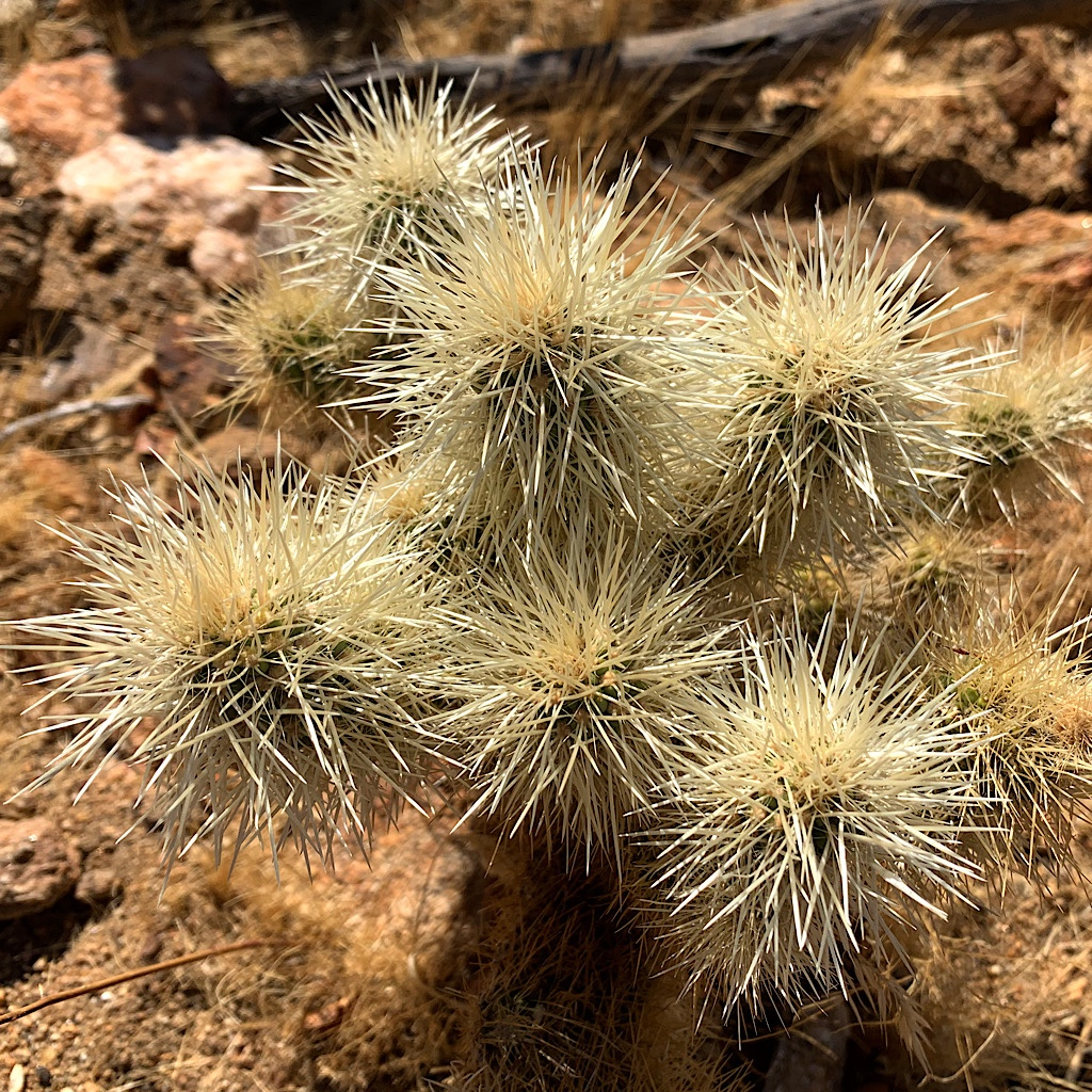Teddy-bear cholla looks cuddly, but don't touch!