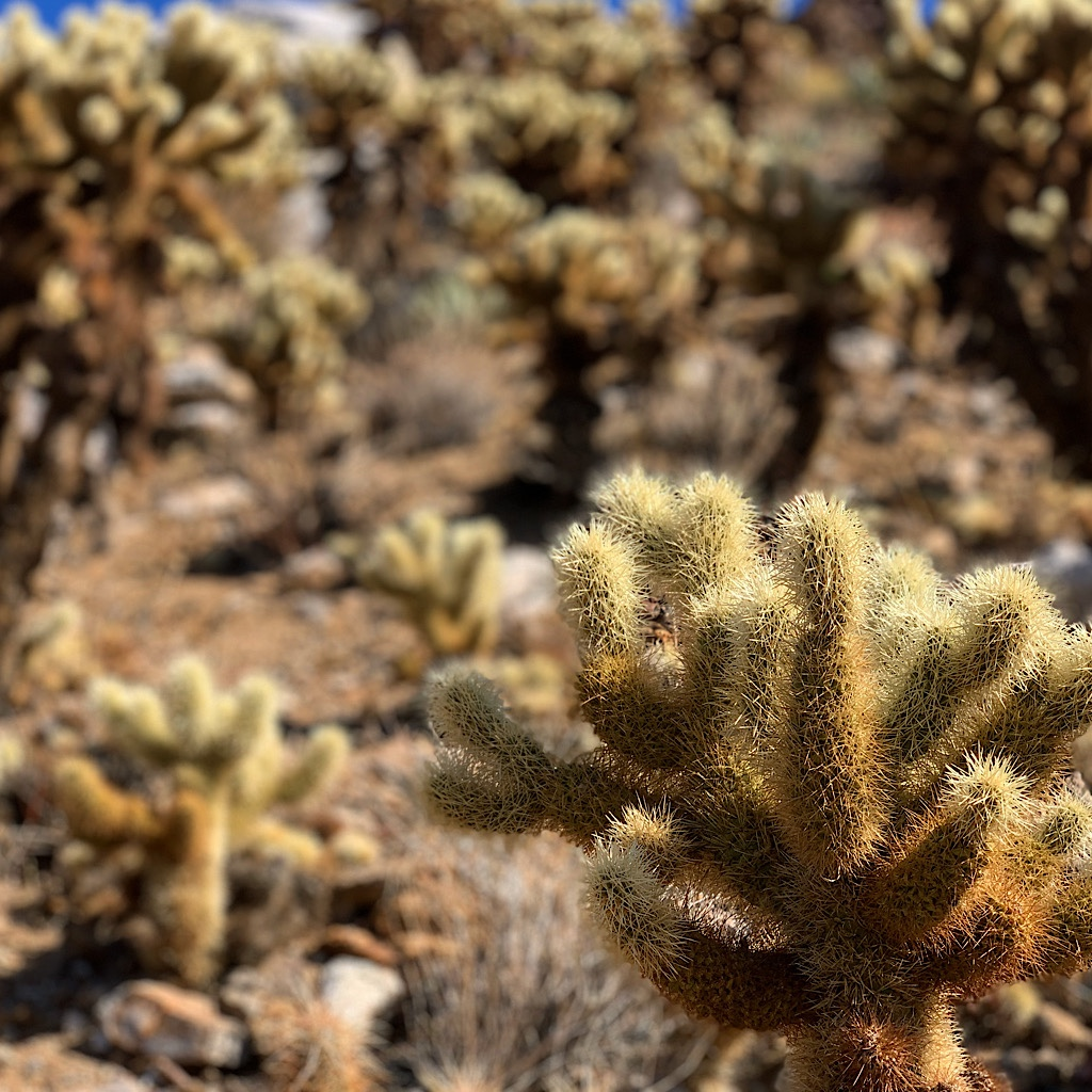 An entire grove of cholla near the PCT as it winds down towards the highway.