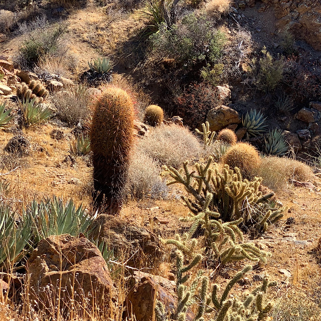 The cactus of Anza-Borrego take on anthropomorphic characteristics.