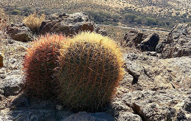 Cactus nuzzle in looking down on Scissors Crossing near Julian.