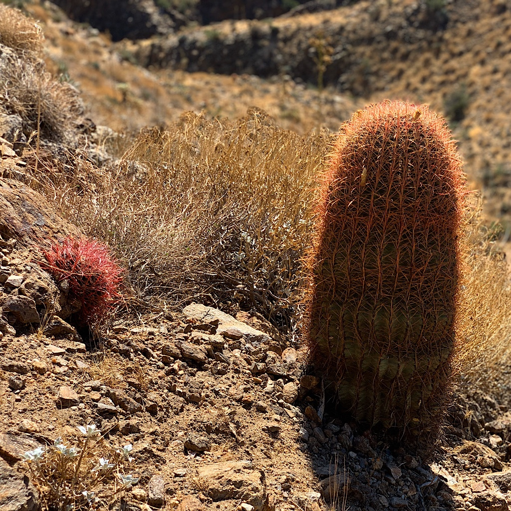 Small and big barrel cactus.