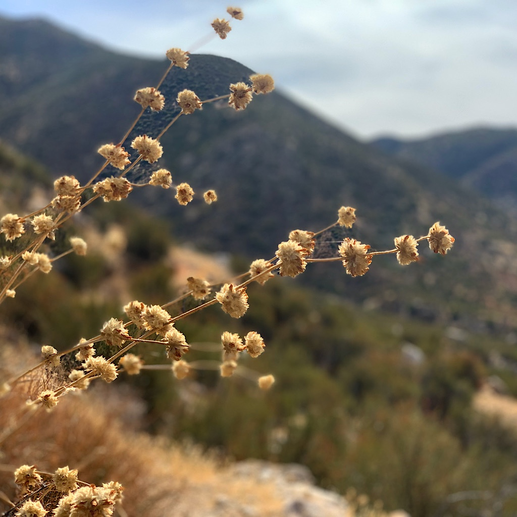 Dried flowers from the mountains of the Southern California desert.