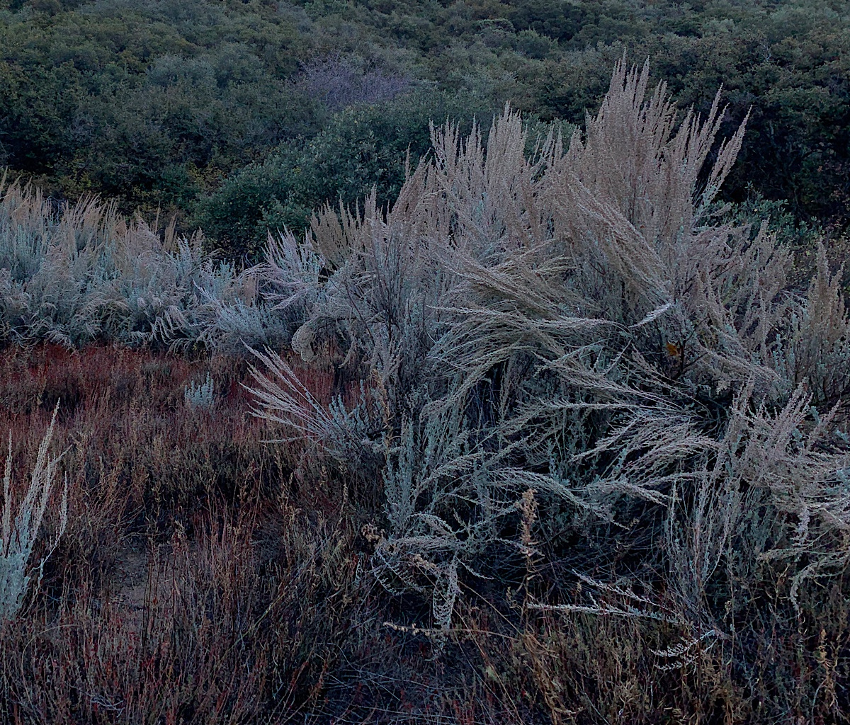 Sagebrush in enormous clumps, the branches akimbo.