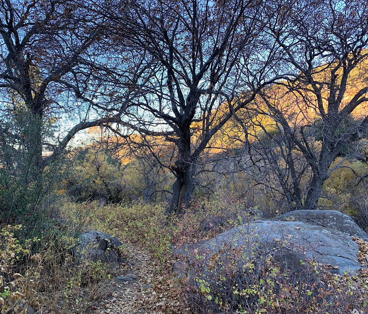 The PCT walks through an oasis by a stream where oak trees take advantage of the cool, moistness.