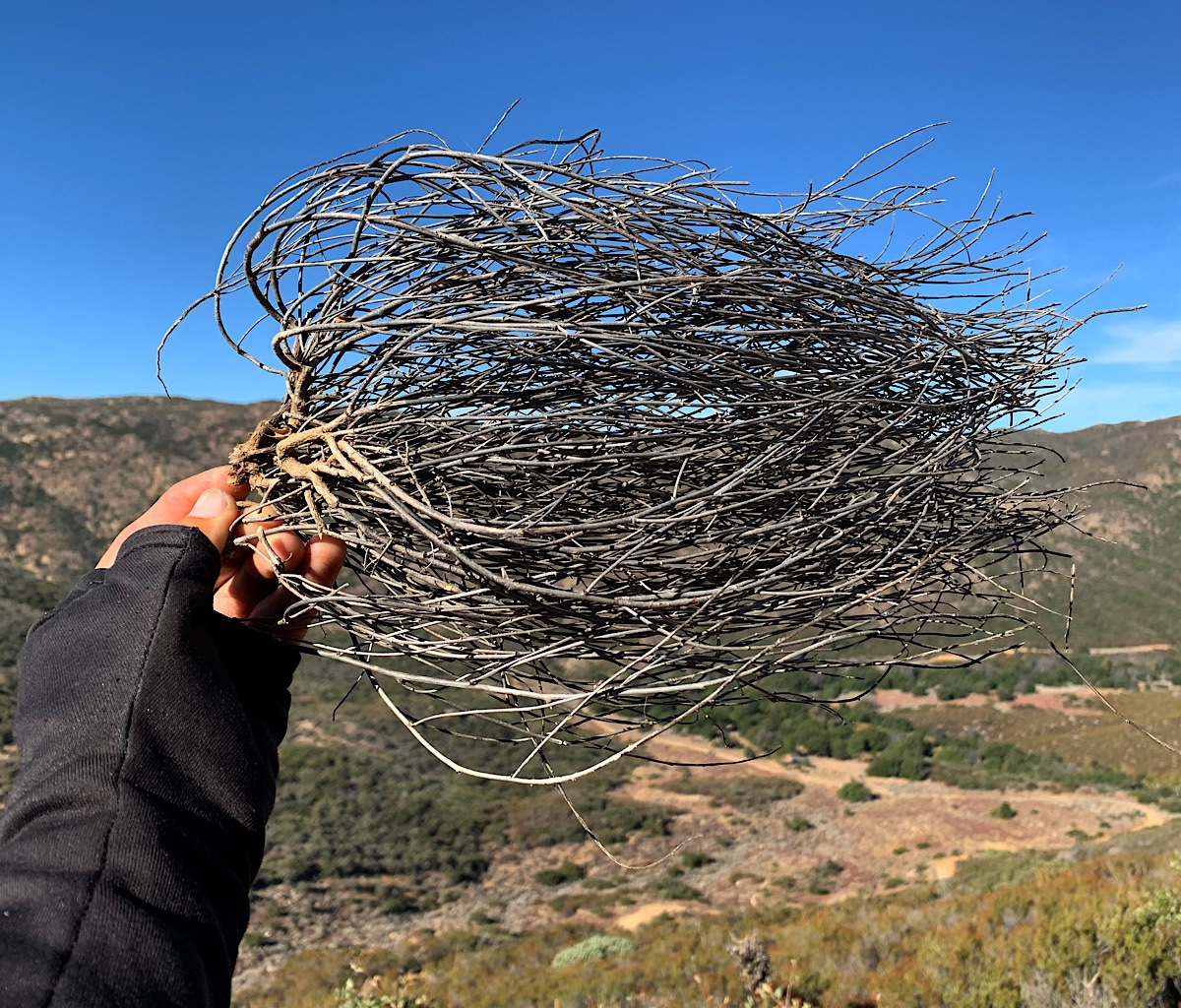 Dried tumbleweeds look like hair blowing in the wind.