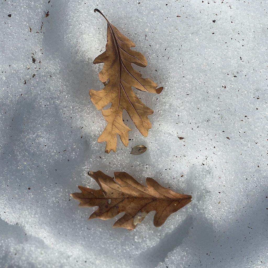 Oak leaves seem to float atop melting ice.