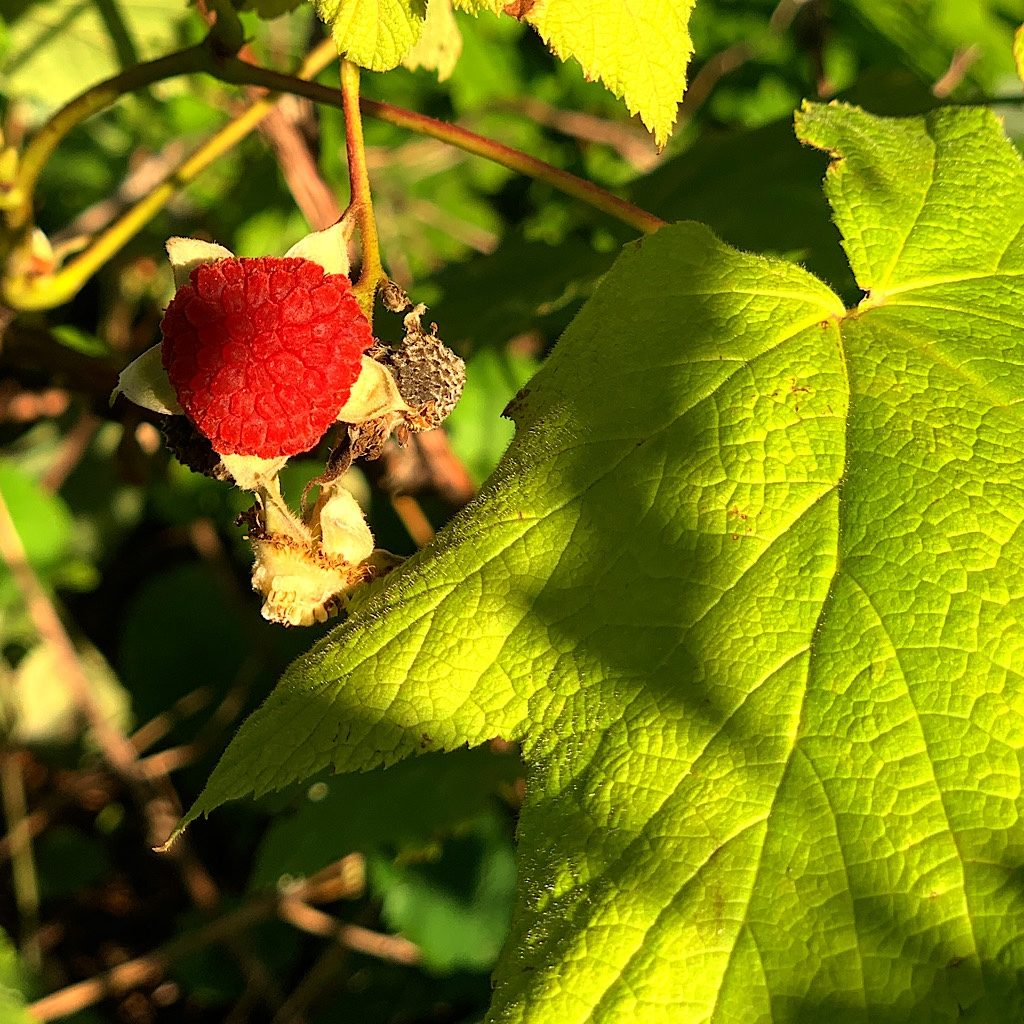The thimbleberries on the East Hugginin Cove Trail were at peak ripeness.