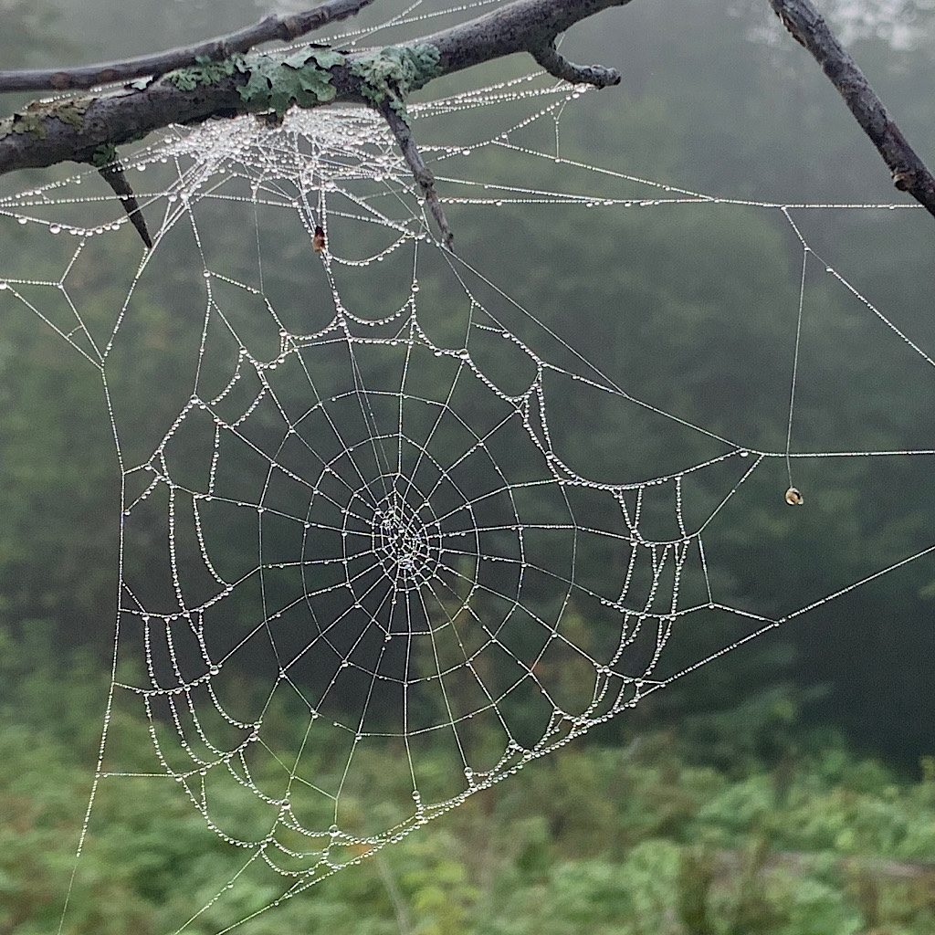 One of millions of dew covered spider webs on Feldtmann Ridge.