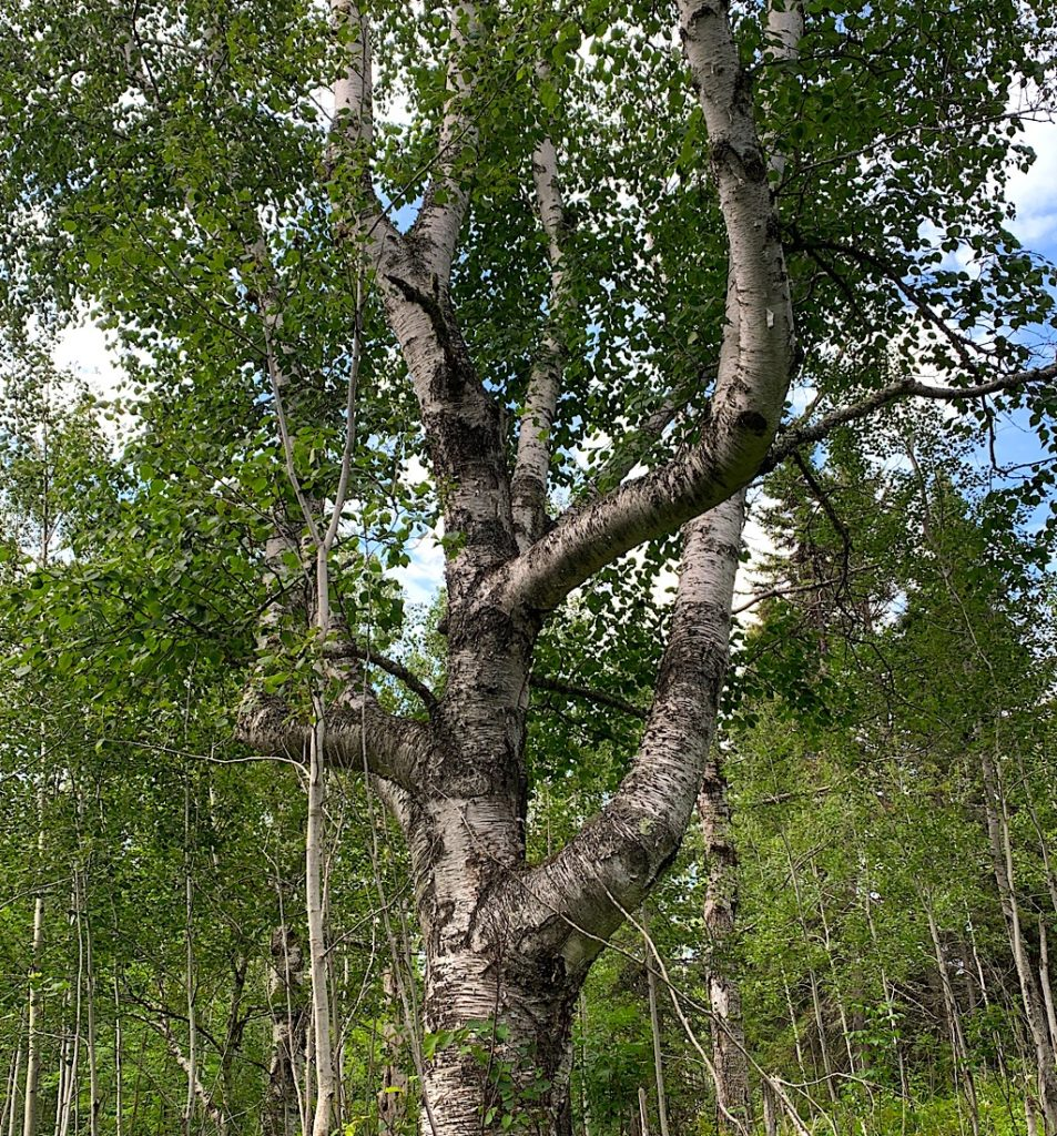 A birch of many arms.