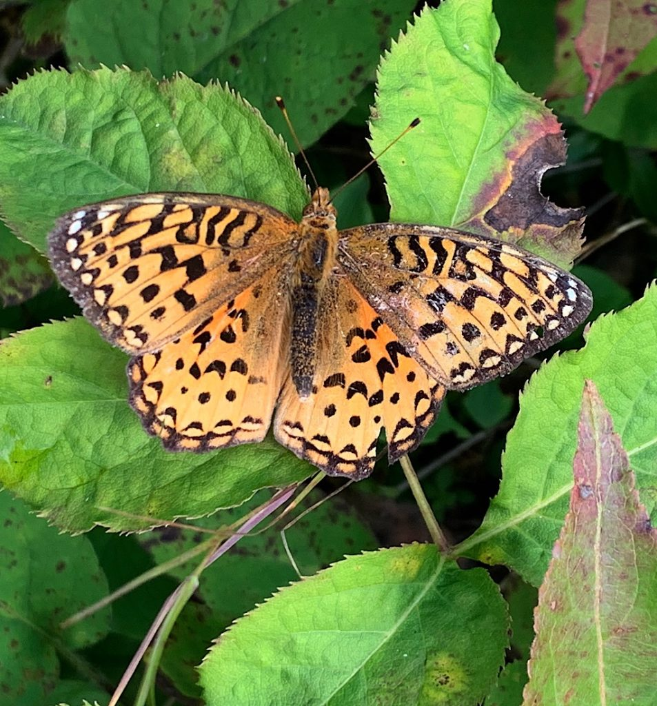 The meadow fritillary stopped long enough for me to snap her picture.