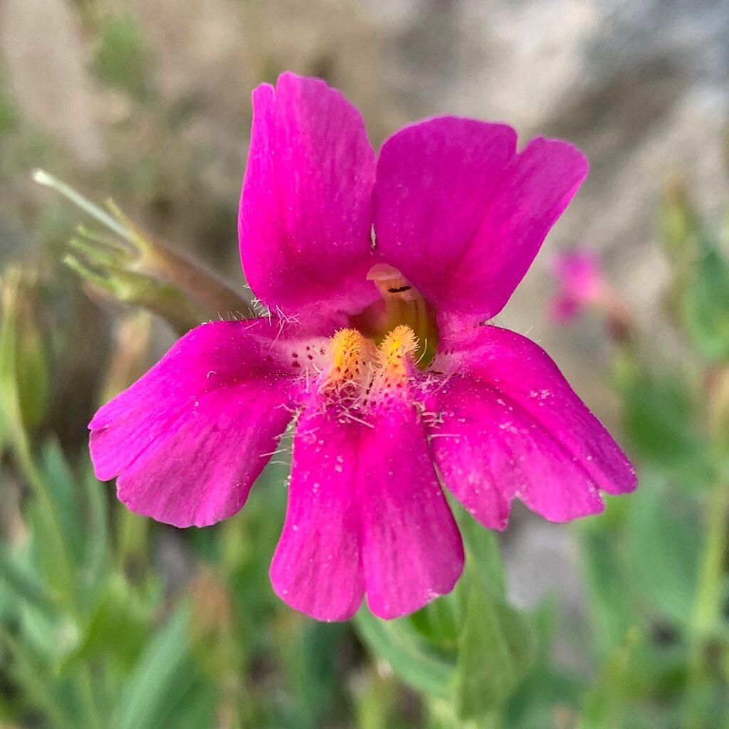 Purple Monkey Flower.