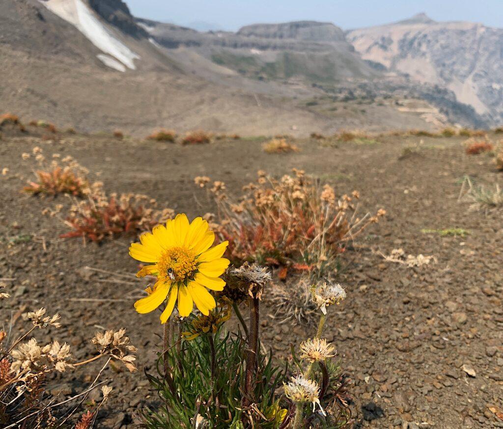 A lone Showy Goldeneye in a mountainous desert.