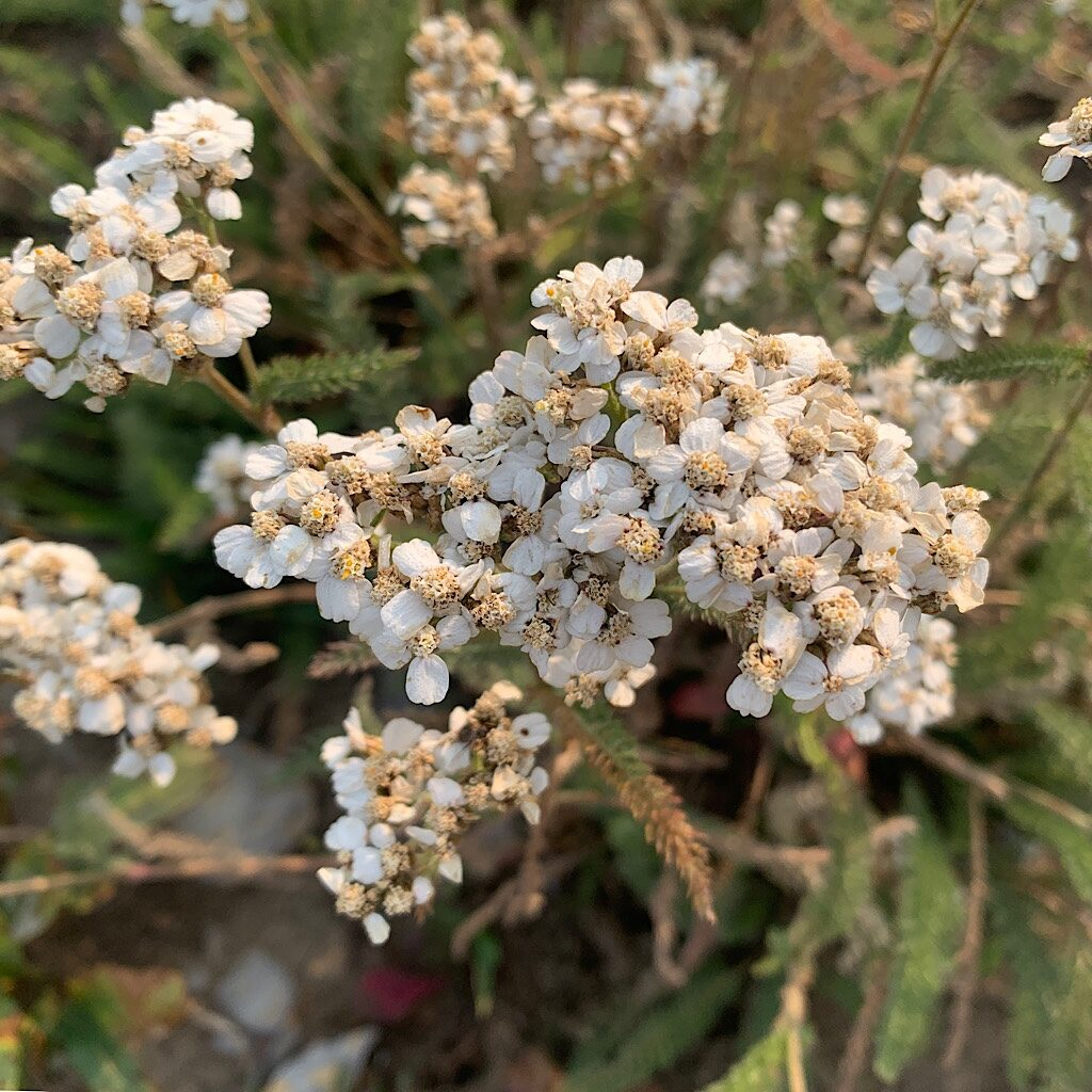 Pearly Everlasting