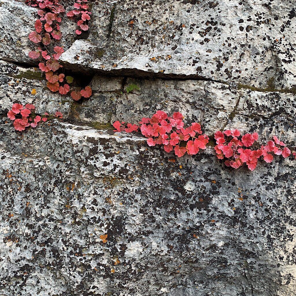 Ivy in autumn.